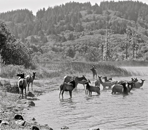 Roosevelt Elk on outkirts of Smith River CA Photo Tom WIlmer