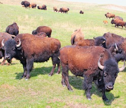 Nebraska Buffalo Ranching