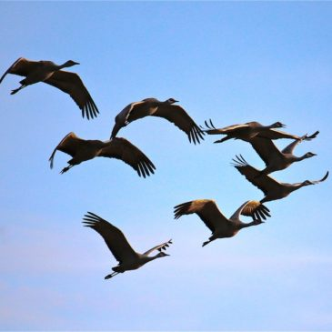Nebraska's Great Sandhill Crane Migration