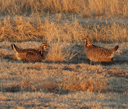 Nebraska's Prairie Chicken Dance Tours