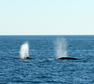 Whales off San Diego Harbor