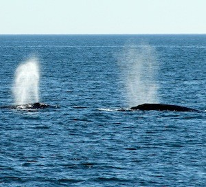 San Diego Whale Watch with Hornblower