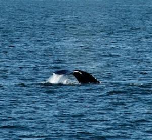 M.V. Adventure Hornblower whale fluke