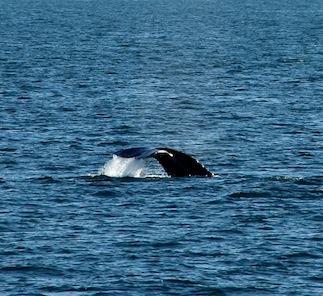 Whale Watching—Therapeutic for PTSD Vets and Cancer Patients