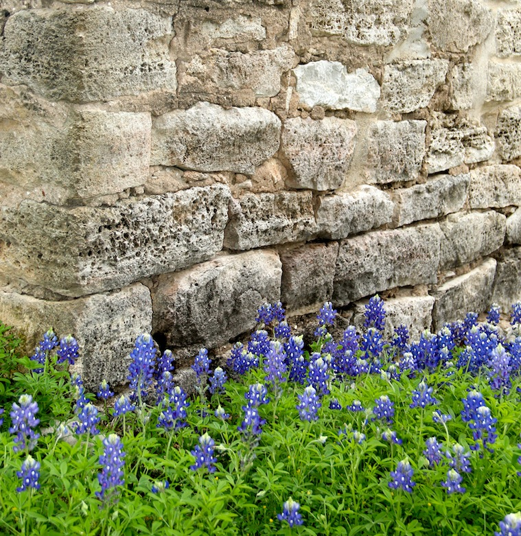 Texas Bluebonnets in Burnet County