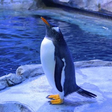 The Detroit Zoo's new Penguinarium—one of the world's foremost Penguin habitats