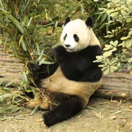 Giant Panda Research facility in Chengdu China explored