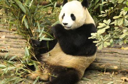 Giant Panda Research facility in Chengdu China explored