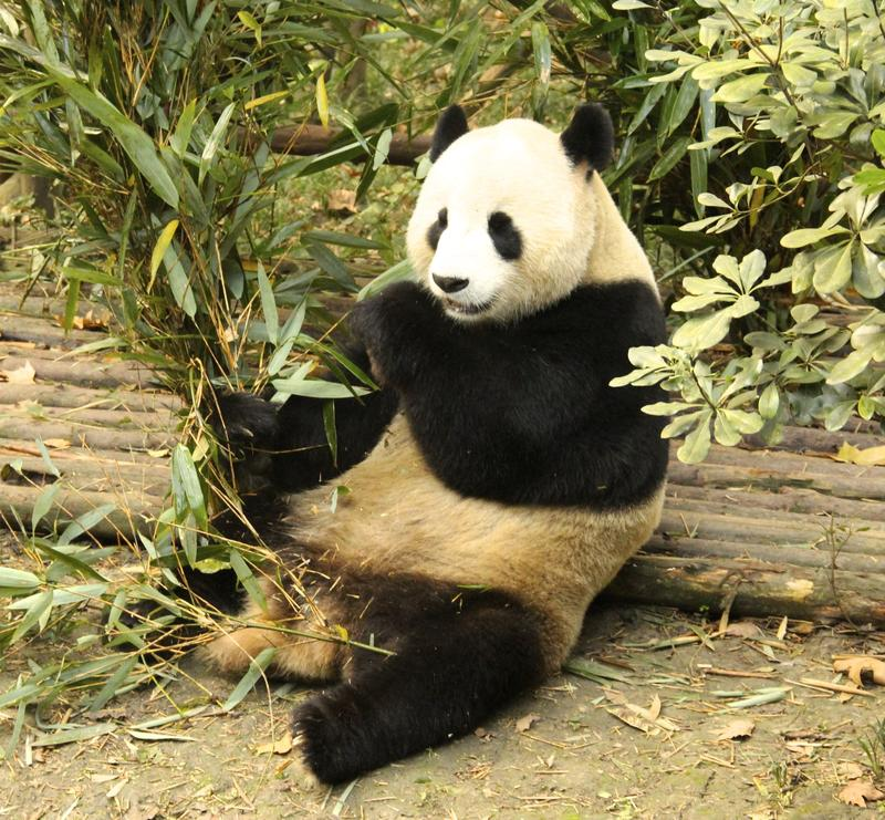 Giant Panda at Chengdu research facility